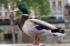 Приспособление животный расквартировывая Париж Франция утки кряквы городское стоковая фотография rf
