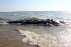 приставанный к берегу кит Стоковое Изображение