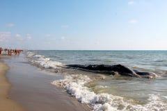 приставанный к берегу кит Стоковое фото RF