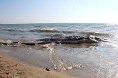 приставанный к берегу кит Стоковое Изображение RF
