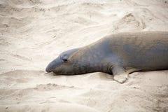пристаньте мыжского морсого льва к берегу Стоковое Фото