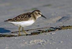 пристаньте наименьший sandpiper к берегу Стоковые Фото
