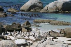 пристаньте пингвинов к берегу валуна Стоковое Изображение RF