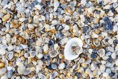 пристаньте seashells к берегу Стоковая Фотография