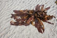пристаньте seaweed к берегу песка Стоковые Изображения