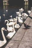 Пристань группы лебедя ждать туристская близко на озере Alster около ратуши города Германия hamburg стоковые изображения