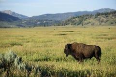 Пристальный взгляд буйвола Стоковое Изображение