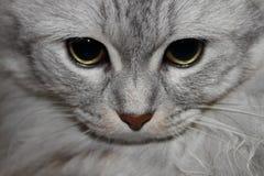 Пристальный взгляд кота Стоковая Фотография