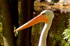 Пристальный взгляд пеликана на запачканной зеленой предпосылке Стоковая Фотография