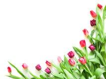 Присутствующая карточка с тюльпаном цветет шаблон углов Стоковые Фото