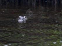 Приходящ на вас - погруженный в воду и плавающ, американский аллигатор стоковое изображение