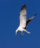 приходя море земли чайки к Стоковые Изображения