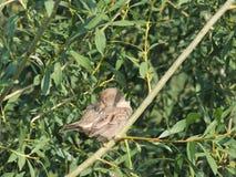 Прихорашивайтесь воробей дома на ветви вербы, женской Стоковая Фотография