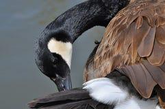 Прихорашиваться гусыни Канады Стоковая Фотография
