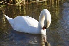 Прихорашиваться лебедя Стоковая Фотография RF