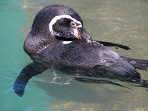 Прихорашиваться пингвина Гумбольдта Стоковые Изображения RF