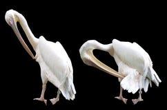 Прихорашивающся пеликаны изолированные на черноте Стоковая Фотография