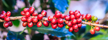 приходить кофе выходит вне засаживает стержень семян Стоковая Фотография