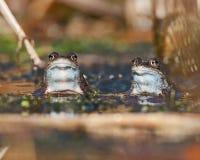 2 причаливают смотреть arvalis Раны лягушек Стоковые Изображения RF