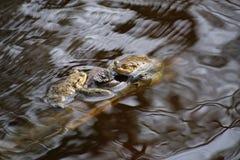 Причальте лягушек в воде Стоковая Фотография