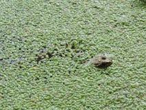 Причальте лягушку стоковые изображения