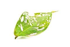 причинено съешьте насекомых листья к Стоковое фото RF