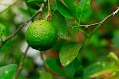 Причины заболеванием canker цитруса лимона известкой плодоовощ бактерий axonopodis Xanthomonas Стоковая Фотография