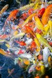 Причудливые fishs карпа плавают в пруде, рыбе карпа цвета Стоковые Изображения