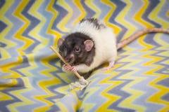 Причудливый Mop крысы любимчика стоковые изображения rf