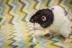 Причудливый Mop крысы любимчика стоковое фото rf