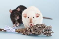2 причудливых крысы с цветками лаванды на голубой предпосылке стоковое изображение rf