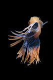 Причудливое Crowntail Betta Стоковое Фото