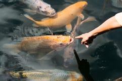 Причудливый карп, рыба koi в воде Стоковое Изображение