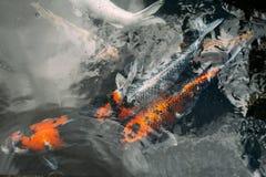 Причудливый карп, рыба koi в воде Стоковая Фотография