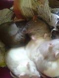 Причудливый пакет крысы Стоковая Фотография RF