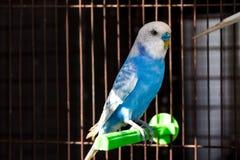 Причудливый цвет Budgie, птица волнистого попугайчика Стоковые Фото