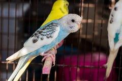 Причудливый цвет Budgie, птица волнистого попугайчика Стоковые Изображения