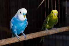 Причудливый цвет Budgie, птица волнистого попугайчика Стоковые Фотографии RF
