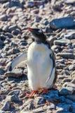 Причудливый цыпленок пингвина хочет объятия на скалистом пляже южного Shetl Стоковое Изображение RF