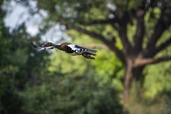 Пришпорьте, который подогнали гусыню в национальном парке Mapungubwe, Южной Африке стоковое изображение
