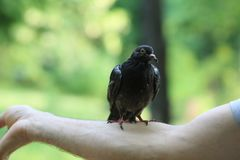 Приятельство голубя и человека Стоковая Фотография RF