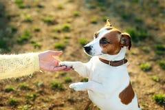 Приятельство между человеком и собакой - трясти руку и лапку jack russell собаки Стоковые Изображения
