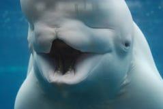 Придурковатый рот Underwater кита белуги широко открытого стоковые изображения rf