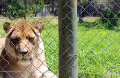 Проарретированная львица Стоковая Фотография