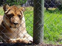 Проарретированная львица Стоковые Фото