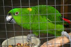 Проарретированный зеленый попугай Стоковые Фотографии RF