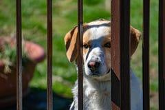 Проарретированный портрет собаки смотря вас Стоковая Фотография RF