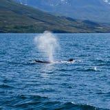 Пробивать брешь горбатого кита и распыляя вода, на отключении кита наблюдая, на Исландии Стоковое Фото