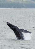 Пробивать брешь горбатого кита стоковое изображение rf
