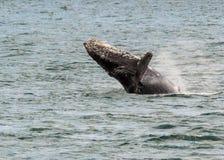 Пробивать брешь горбатого кита стоковая фотография rf